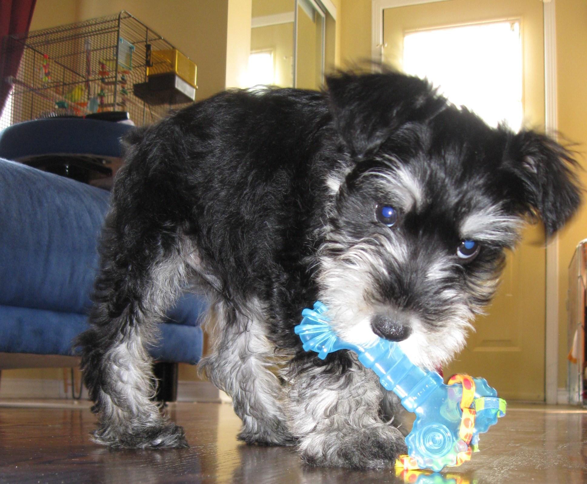 Puppy Mini Schnauzer with toy blue bone